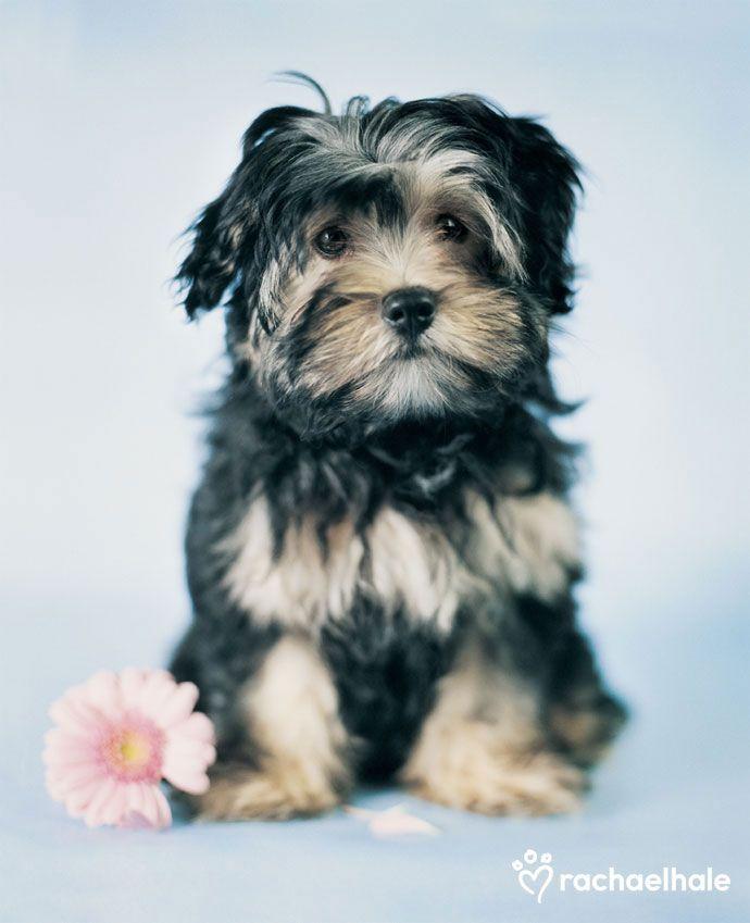 Bracken Lowchen Beautiful Dog Breeds Cute Dogs Pet