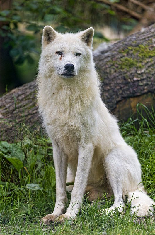 Photo of Sitting and posing arctic wolf