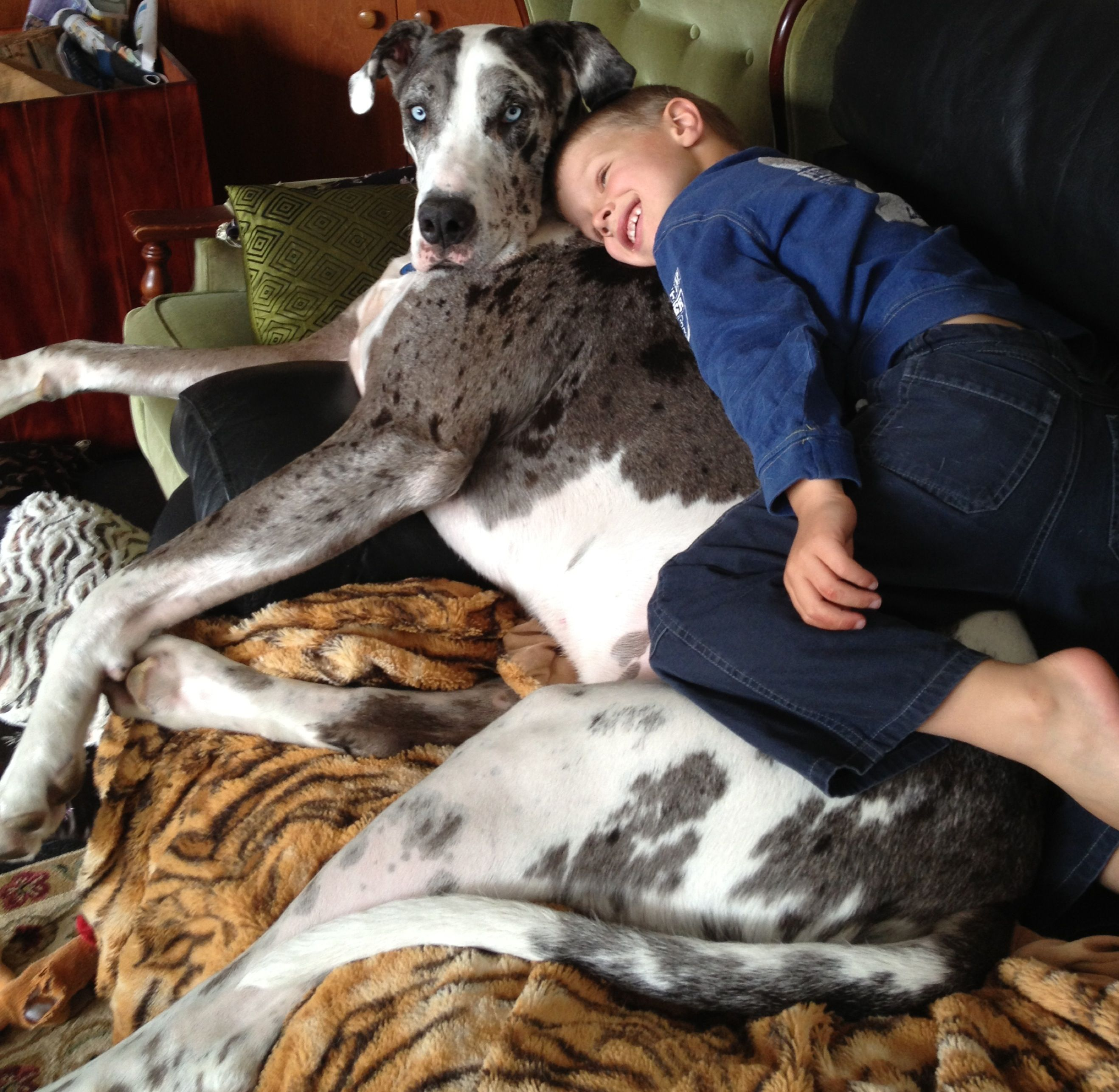 Puppy Love Brody With 3yo Great Dane Dino Great Dane Dogs