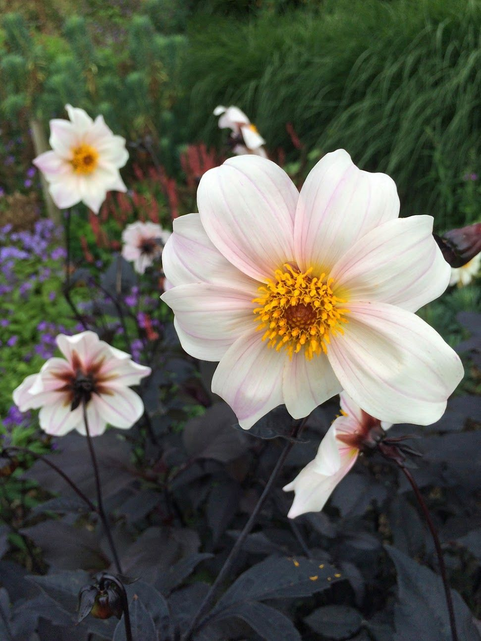 Dahlia Twyning S After Eight Dahlia After Eight Flowers