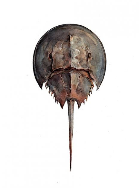 horseshoecrab.jpg   Projects to Try   Pinterest
