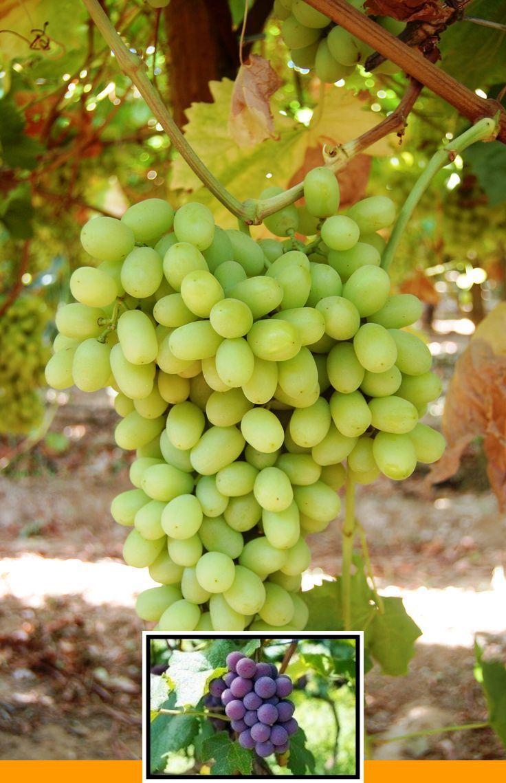 Grow grape vines backyard and growing grape plants from