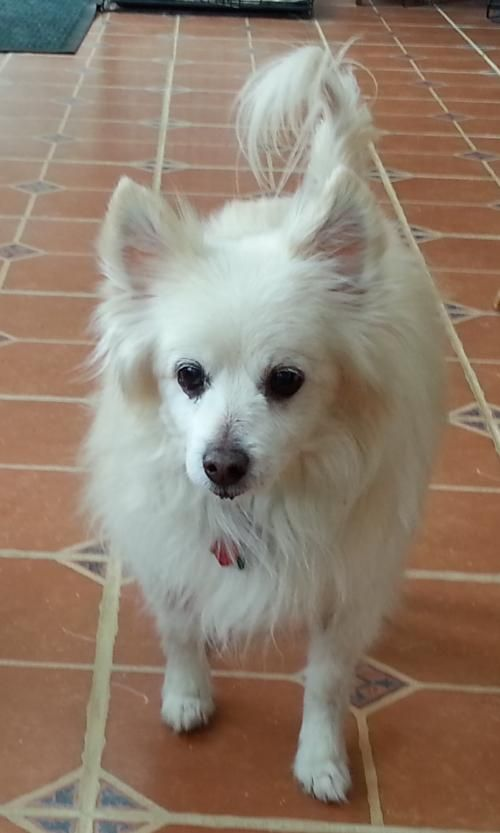 Elvis of DE is an adoptable American Eskimo Dog searching for a forever family near Randallstown, MD. Use Petfinder to find adoptable pets in your area.