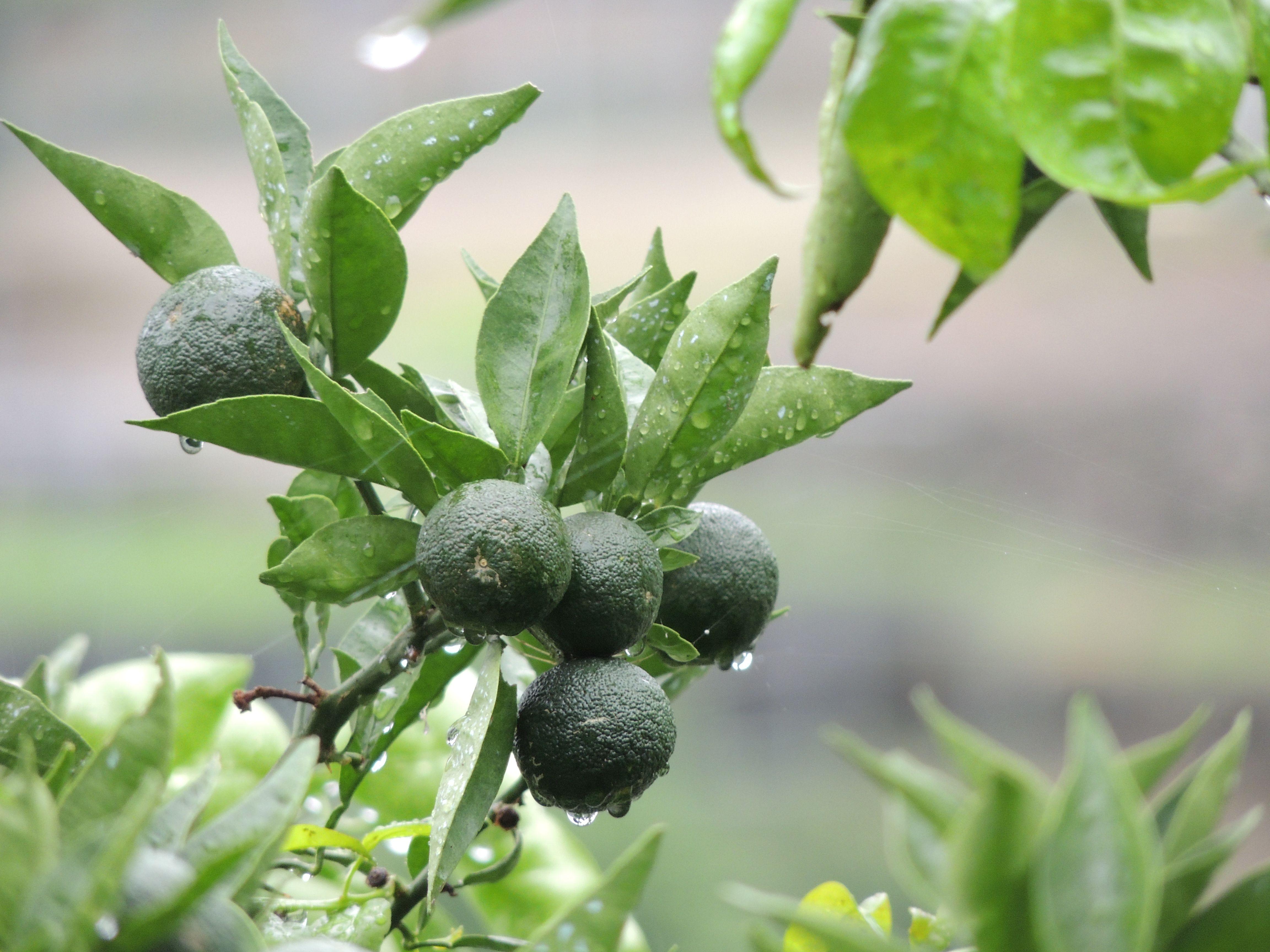 sudachi , a kind of citruses, very popular where I live