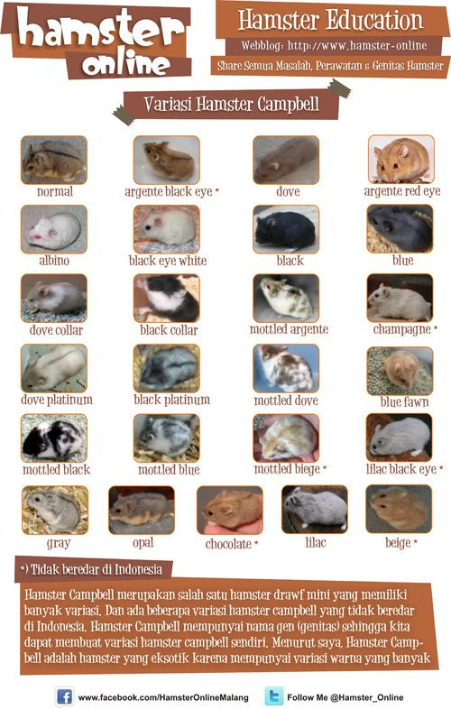 Hamster 1 Jenisjenis Hamster Campbell Hamster
