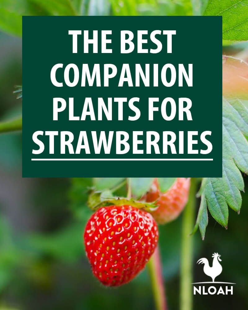 The Best Companion Plants for Strawberries The full lists of good AND bad companion plants for strawberries Keep pests away so you can enjoy your strawberries