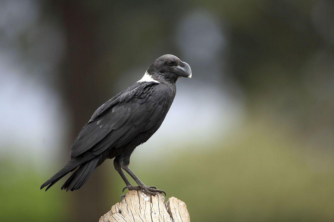 White-necked Raven, E/S Africa