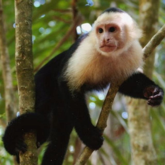 capuchin monkey our planet earth pinterest animal