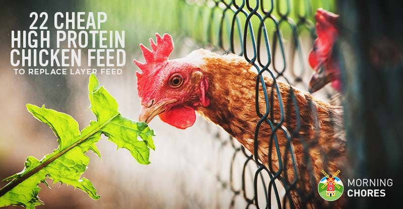 22 Cheap High Protein Chicken Feed Options To Replace Layer Feed