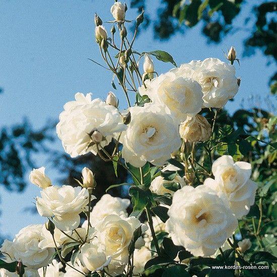 schneewittchen snow white roses found. Black Bedroom Furniture Sets. Home Design Ideas