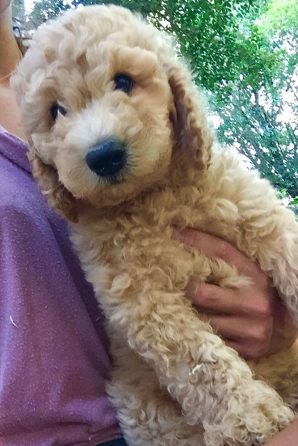Goldendoodles Doodles Labradoodles Puppies Adorable Cute