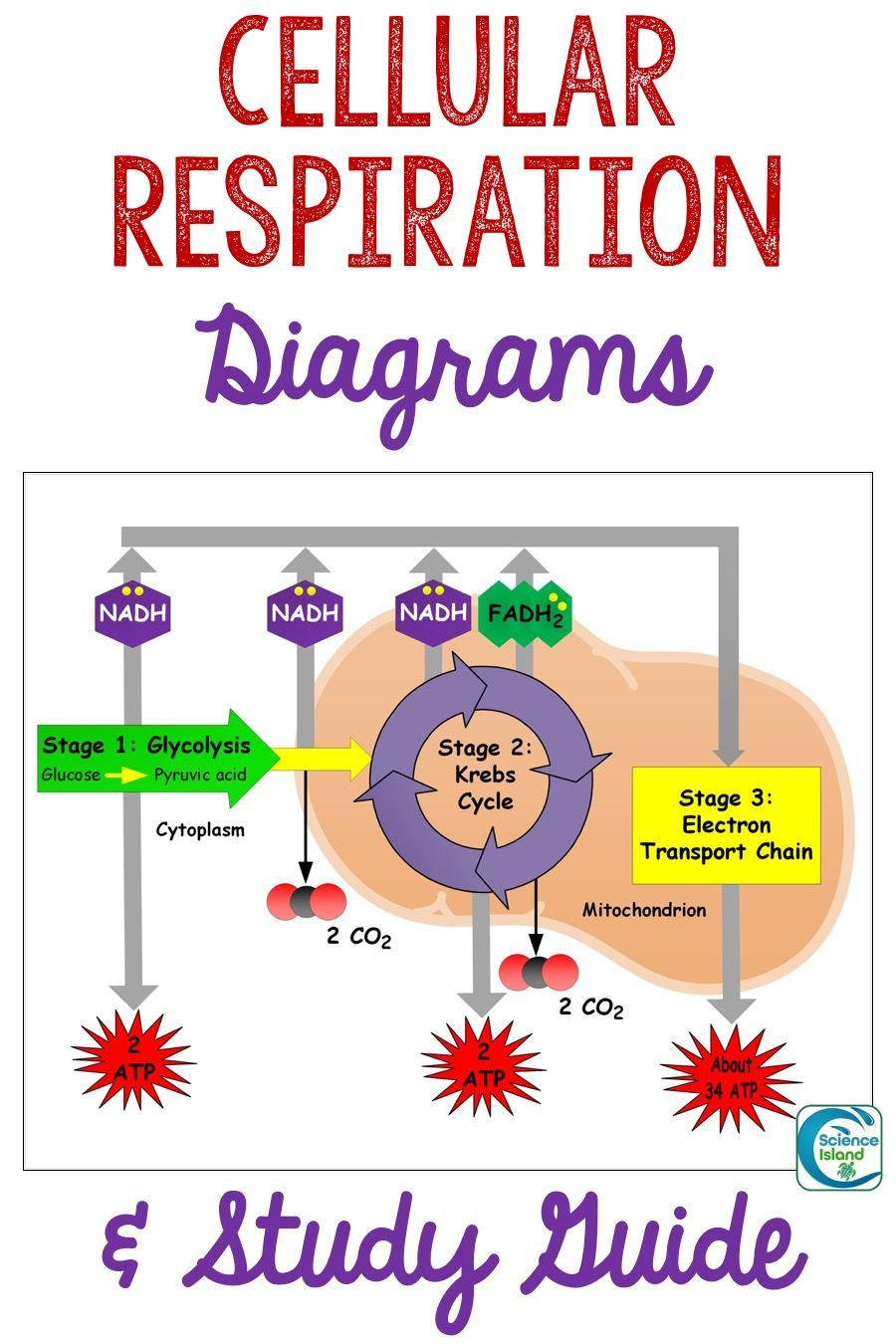 Cellular Respiration Diagrams and Study Guide Cellular