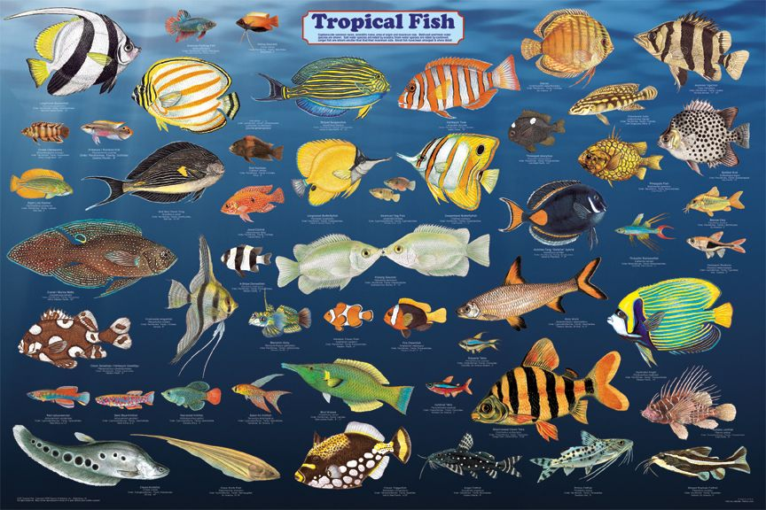 Tropical fish poster sea life posters pictures prints for Tropical fish images