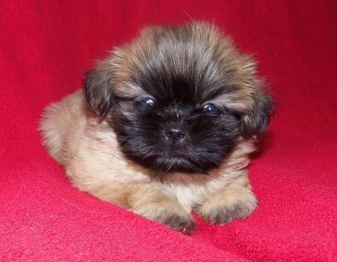 Precious Puppies Precious Shih Tzu Puppies For Sale In Cleveland