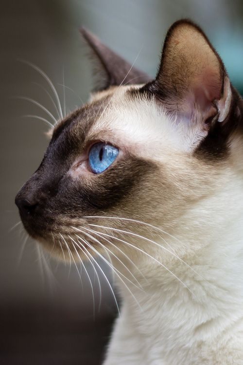 Pin By Rena Lawosn On Beautiful Siamese Kittens Beautiful Cats
