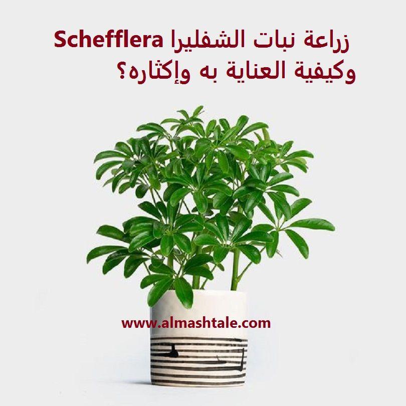من أجمل نباتات الزينة الداخلية هو نبات الشفليرا Schefflera الشفليرا نبات ورقي داخلي محبوب من الكثيرين لما يتميز به من جمال أوراقه وم Schefflera Herbs