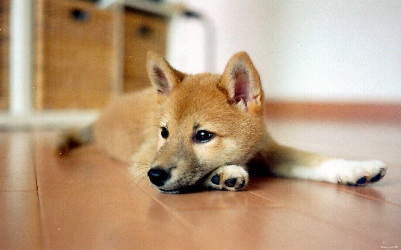 Shiba Inu Puppies Wallpaper All Puppies Pictures And Wallpapers Shiba Inu Puppies Puppy Wallpaper