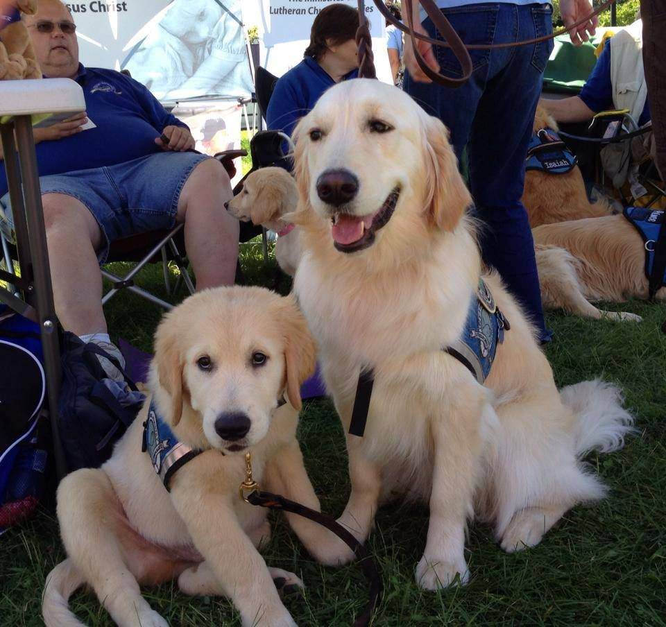 Jethro Comfort Dog in Training with his big sister Shiloh Comfort Dog! #k9comfortdogs #dogs #puppies #puppy