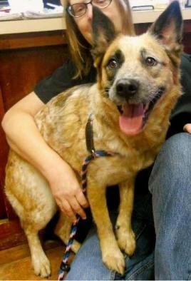 Adopt Abigail On Australian Cattle Dog German Shepherd Dogs Dogs