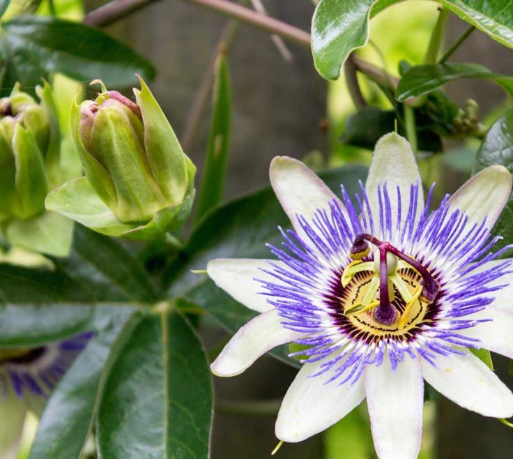 Passion Flower Vine Seed Passiflora Caerulea Blue Passion Flower Tree Seeds