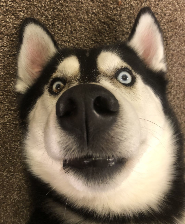 Adopt Ziggy Active Boy On Petfinder Siberian Husky Mix Husky Mix Dog Adoption