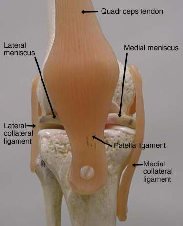 Labeled shoulder joint model knee joint anatomy lab labeled shoulder joint model knee joint ccuart Choice Image