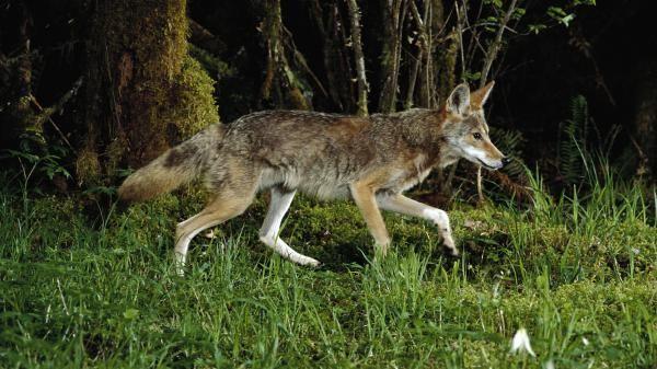 Un coyote dans le parc national du mont Hood, dans l'Oregon (nord-ouest des Etats-Unis). | MICHAEL DURHAM / MINDEN PICTURES / AFP