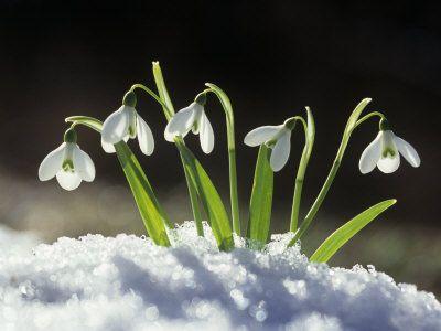 Pin By Zrnka Adanic On Flowers Snowdrop Plant Flowers Plants