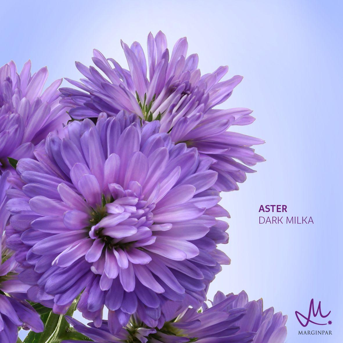 Aster Dark Milka In 2020 Ancient Greek Words Dark Milka