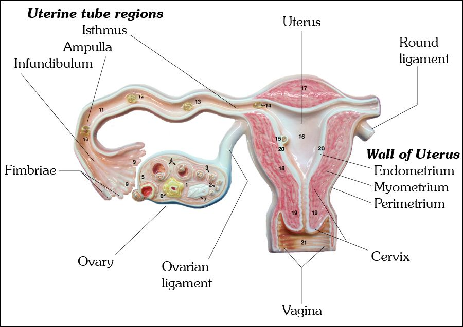 The Uterine (Fallopian) Tube, Uterus, Uterine Wall ...