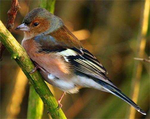 ein buchfink am zweig warum auch nicht v gel pinterest zweige vogel und vogelarten. Black Bedroom Furniture Sets. Home Design Ideas