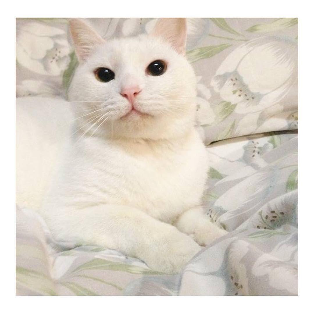 またまた 里親募集 している猫さんです 拡散希望 です どうか皆様ご協力お願いします 可愛い白猫の はなちゃん Hanano Ouchi さんで募集しております 里親募集を始めて時間が経っておりますが 誰でも良いわけでなく生涯大切にしてくださるとなると慎重に