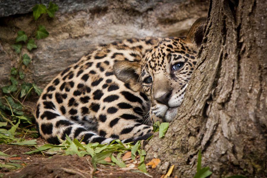 Pin En Jaguares Y Leopardos