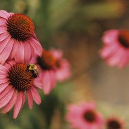 How To Grow Coneflowers From Collected Seeds Echinacea Plants Organic Gardening Tips