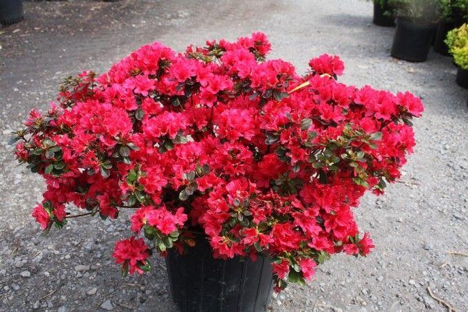 Shrubs Flower Garden Plants Shrubs Planting Flowers