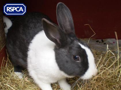 Poppy Dutch Rabbit 1 Year Rspca Bridlington Driffield District Branch Dutch Rabbit Pet Search Animals