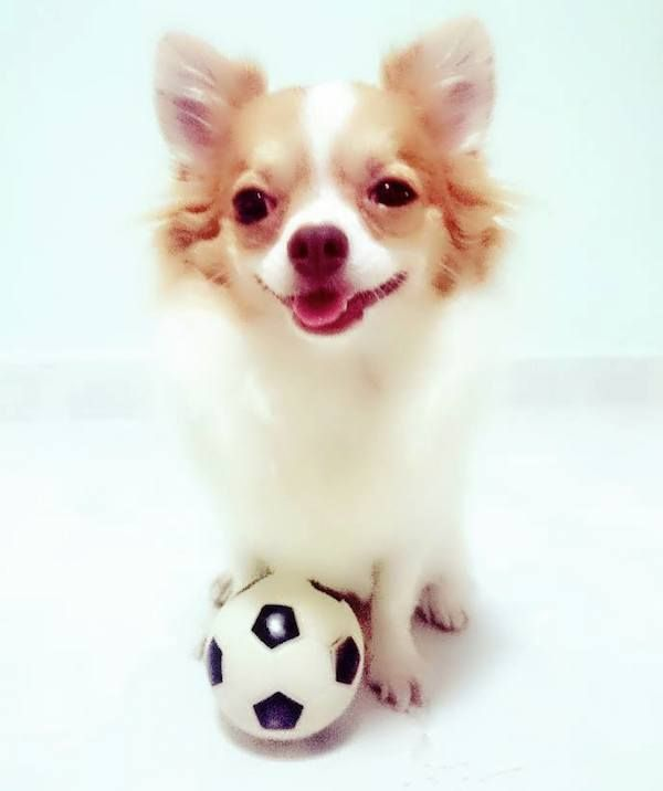 Bumbie The Chihuahua Is An Adorable Singapore Rescue Dog Rescue Dogs Chihuahua Dogs