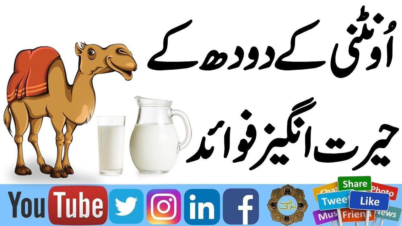 Camel Milk Benefits in Urdu & Hindi   Oontni ke Doodh ke Fawaid