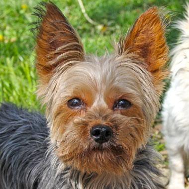 Adopt Kringle On Yorkshire Terrier Yorkie Terrier