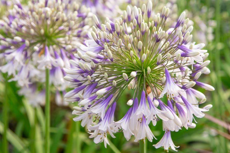 white trumpet flower weed