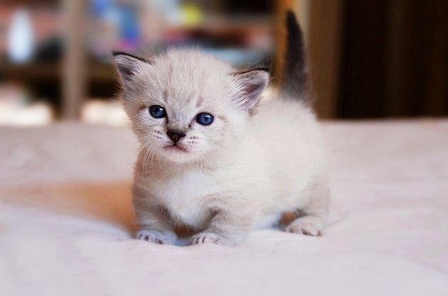 коты породы манчкин