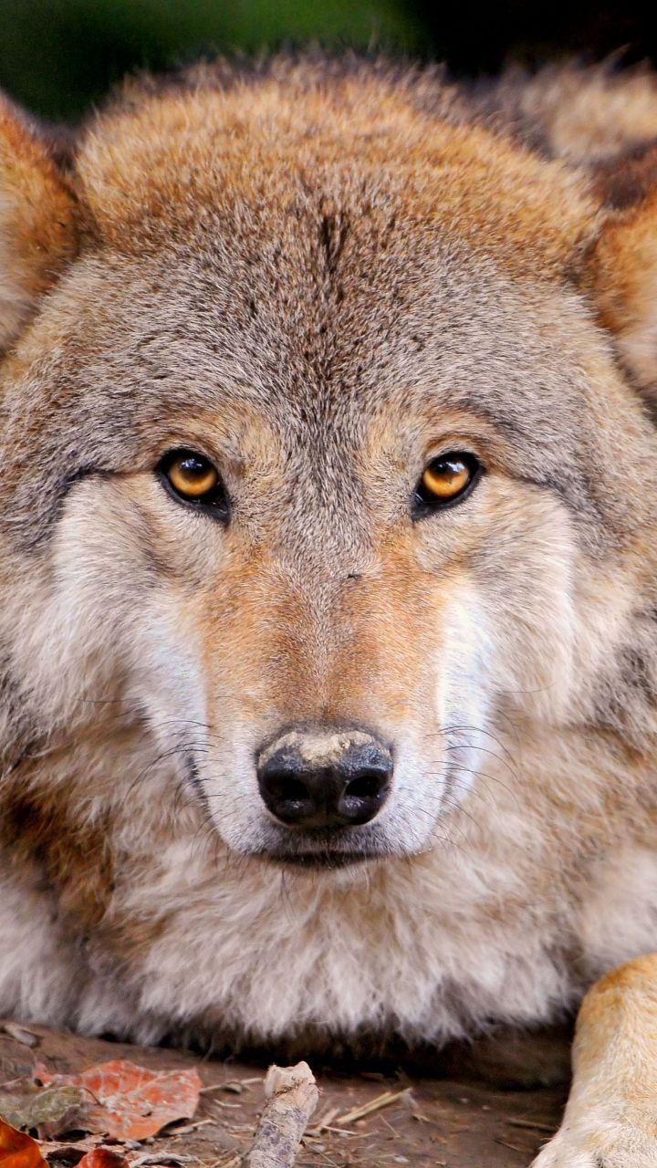 Скачать 720x1280 Волк, хищник, лежать, морда, семейство ...