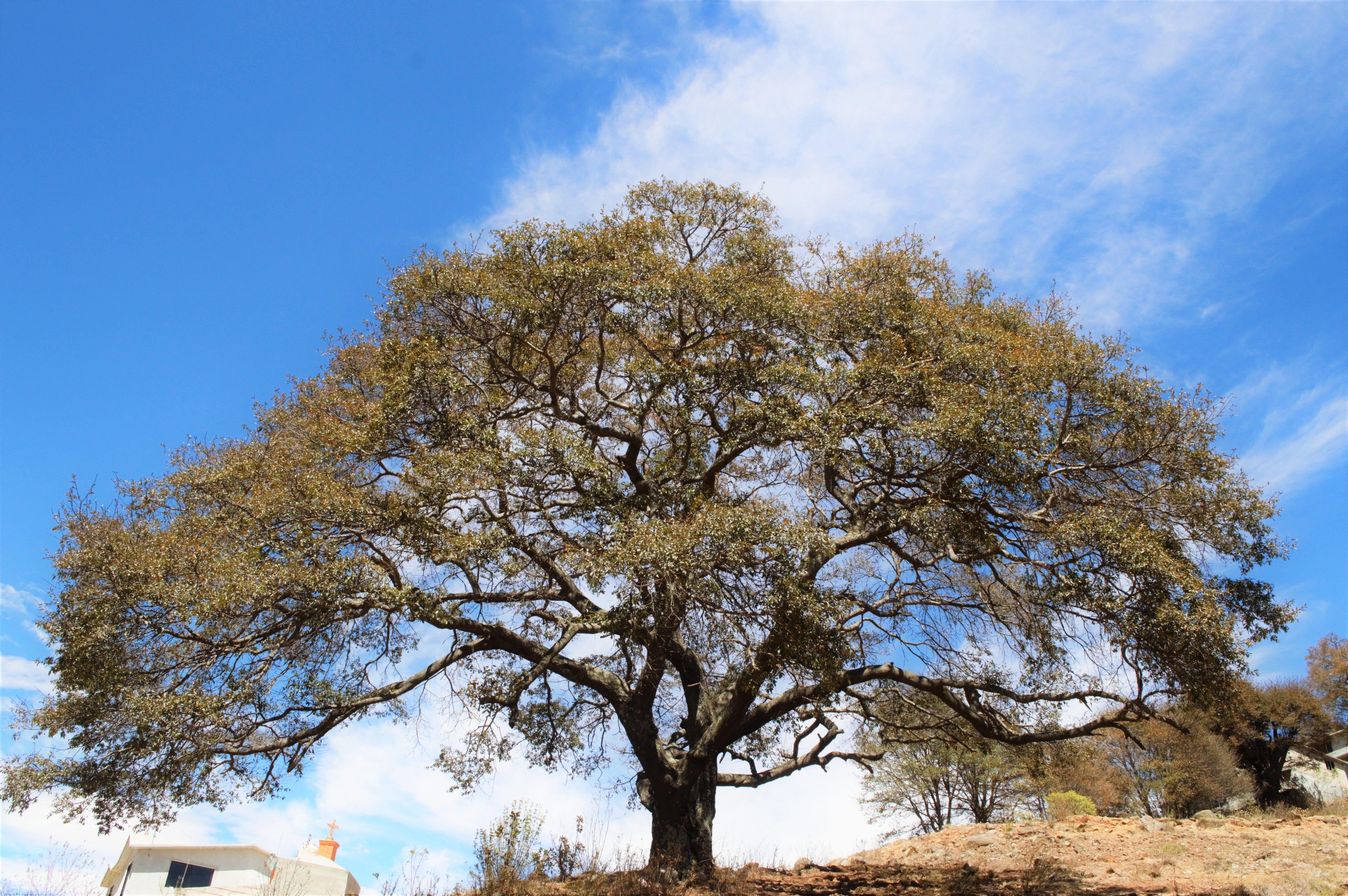 Árbol en  Aculco