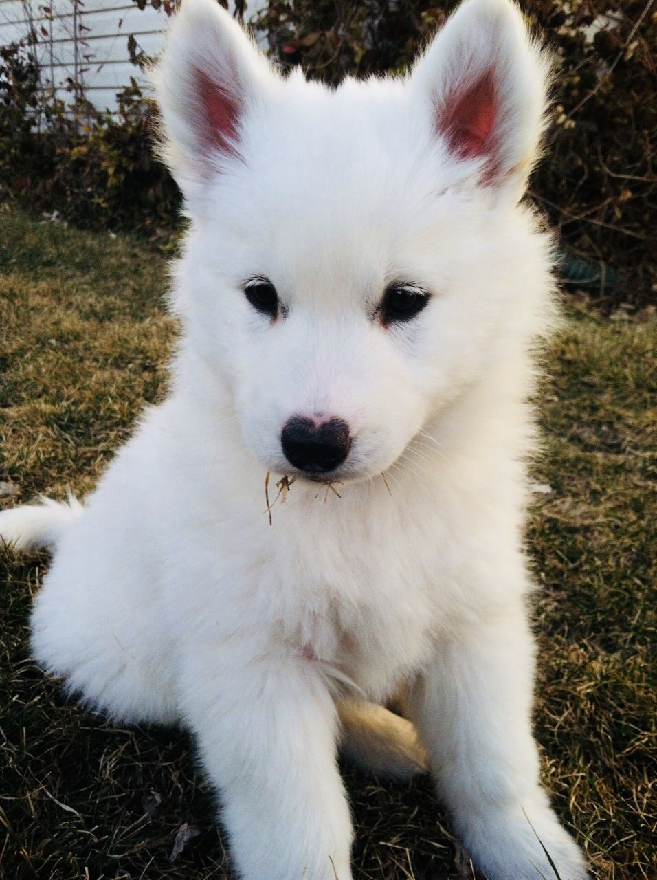 Pin by Antonija Bikic on Animals | White husky puppy, Cute ...