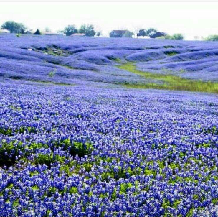 Texas Bluebells Ennis Tx Texas Bluebonnets Blue Bonnets Wild