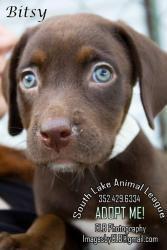 Adopt Bitsy On Labrador Retriever Dog Retriever Dog Labrador Retriever