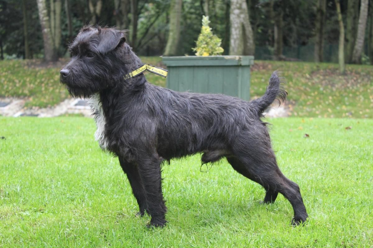 Adopt A Dog Finlay Patterdale Terrier Dogs Trust With Images