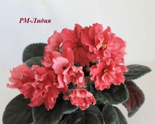 African-Violet-RM-Lydia-plug-plant-SAINTPAULIA
