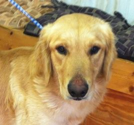 Adopt Bandit On Seeking Fur Ever Home Dogs Golden Retriever