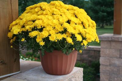 Yellow Chrysanthemum Flower In Pot Image Lucasgreenhouses Com Chrysanthemum Flower Yellow Chrysanthemum Chrysanthemum